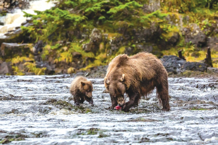 Alaska Cruise Brown Bears fishing