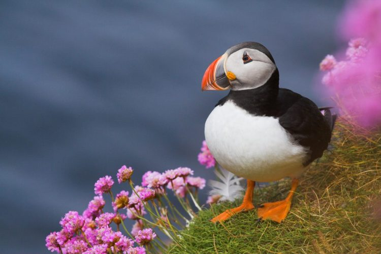 Cruise Orkney Puffins