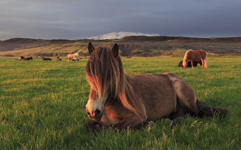 Iceland Cruise Horses