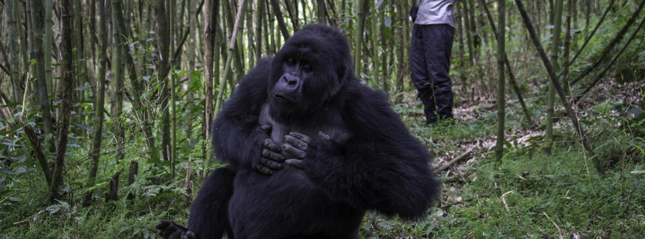 Bushtracks Mountain Gorilla 2