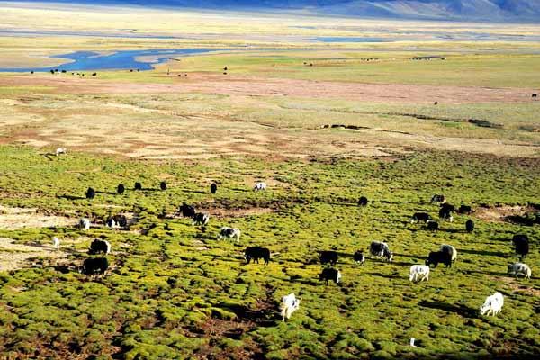 Tibetan Grasslands
